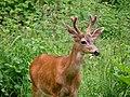 Buck in velvet (6817a408df054153b94e1f4bb9a65a2e).JPG