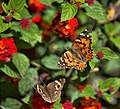 Buckeye and Painted Lady Butterfly (36846957913).jpg