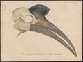 Bucorvus abyssinicus - schedel - 1796-1808 - Print - Iconographia Zoologica - Special Collections University of Amsterdam - UBA01 IZ19300149.tif