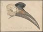 Bucorvus abyssinicus - schedel - 1796-1808 - Print - Iconographia Zoologica - Special Collections University of Amsterdam - UBA01 IZ19300149.tif