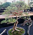 Buddleja saligna bonsai cape town.jpg
