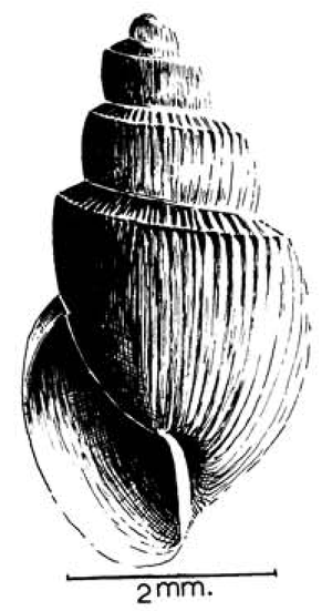 Sculpture (mollusc) -  The shell of the freshwater snail Bulinus forskalii has strong transverse ribs which form an angle at the shoulder