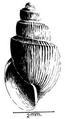 Bulinus forskalii shell.png