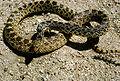 Bull snake.jpg