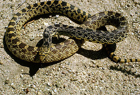 Description de l'image Bull snake.jpg.