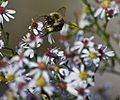 Bumble-bee-reaching-flower - West Virginia - ForestWander.jpg