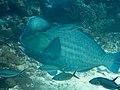 Bumphead parrotfish (Bolbometopon muricatum) (46918822894).jpg