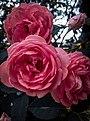 Bunga Mawar Merah.jpg