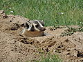 Burrowing Badger (15019494502).jpg