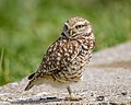 Burrowing Owl (25818956247).jpg