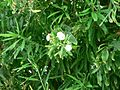Bush with white flowers.jpg