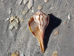 240px busycon sinistrum (lightning whelk) on marine beach (cayo costa island, florida, usa) (23700747493)