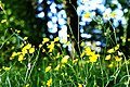 Buttercups (5428613281).jpg