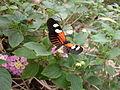 Butterfly Stratford 01.JPG