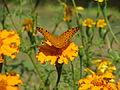 Butterfly in Uttarakhand, India (4).JPG