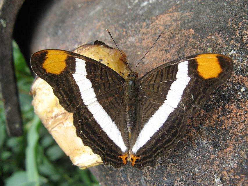 Bộ sưu tập cánh vẩy 5 - Page 17 853px-Butterfly_sucking_a_banana_top
