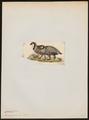 Caccabis graeca - 1820-1863 - Print - Iconographia Zoologica - Special Collections University of Amsterdam - UBA01 IZ17100287.tif