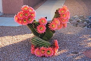 Cactus flowering, Sun City West
