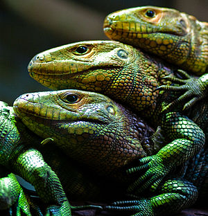 Caiman Lizards (Dracaena guianensis) in Fort W...
