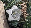 Caiophora coronata -倫敦植物園 Kew Gardens, London- (9229778298).jpg