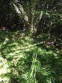 Calamogrostis arundinacea Aubrac.jpg