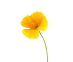 California Poppy Scanograph cropped.png