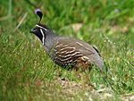 California Quail - Flickr - GregTheBusker.jpg