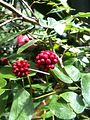 Calliandra emarginata (7557551984).jpg