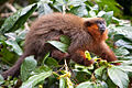 Callicebus cupreus Tambopata Research Center.jpg