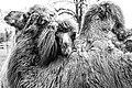 Camel (205575589).jpeg