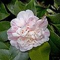 Camellia.japonica.cv.Colombo.7168.jpg