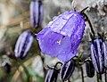 Campanula cochleariifolia 2.jpg