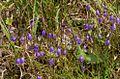 Campanula cochleariifolia ENBLA01.jpg