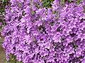Campanula portenschlagiana1.jpg