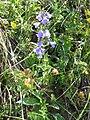 Campanula rhomboidalis1.jpg