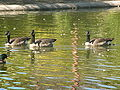 Canada Geese in Redwood City 2.JPG