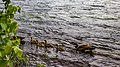 Canada goose (39031890601).jpg