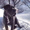 Cane Corse in the snow.jpg