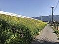 Canola field near Zendoji Temple.jpg