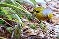 Cape Canary, Serinus canicollis, male at Kirstenbosch (8234943685).jpg