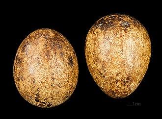 Southern crested caracara - Image: Caracara plancus MHNT 226 Rd N Malouines