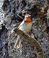 Cardellina rubrifrons - Flickr - gailhampshire.jpg