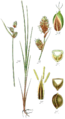 Carex buxbaumii from Sturm.png