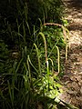 Carex pendula inflorescens (55).jpg