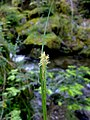 Carex sylvatica inflorescens (5).jpg