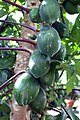 Carica papaya Tropical Dwarf Papaya 1zz.jpg