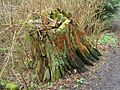 Carkeek-Park-Old-tree-stump-3365.jpg