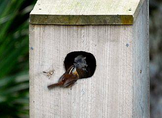 Carolina wren - Carolina wren nesting in a duck nestbox.