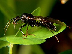 Carpenter ant drone wiki.jpg