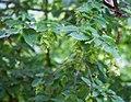 Carpinus orientalis 1.jpg